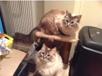 Mother & daughter seal tabby point need new home
