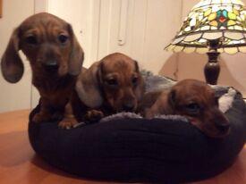 KC registered PRA clear Miniature Dachshund Pups