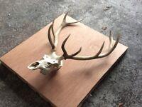 Large set deer antlers full white skull