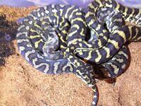Pythons for sale