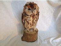 Stuffed owl taxidermy