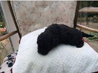 Poodle (Toy) X Jack Russel Border Collie