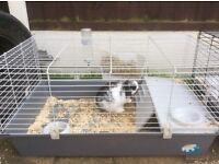 Mini Lop Rabbit Male with indoor cage and accessories