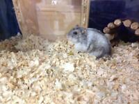 Dwarf Hamsters hand tame