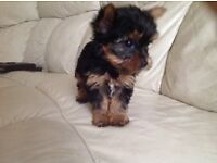 LOVELY Female Yorkie Puppy