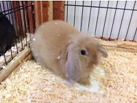 Mini Lops, Lionhead Lops, Netherland Dwarf Rabbits, Baby Rabbits