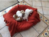 French bulldog puppies for sale we have a beautiful litter of one boy and 4 girls ready 5th Julyu