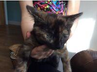 Lovely, playful female kitten for sale