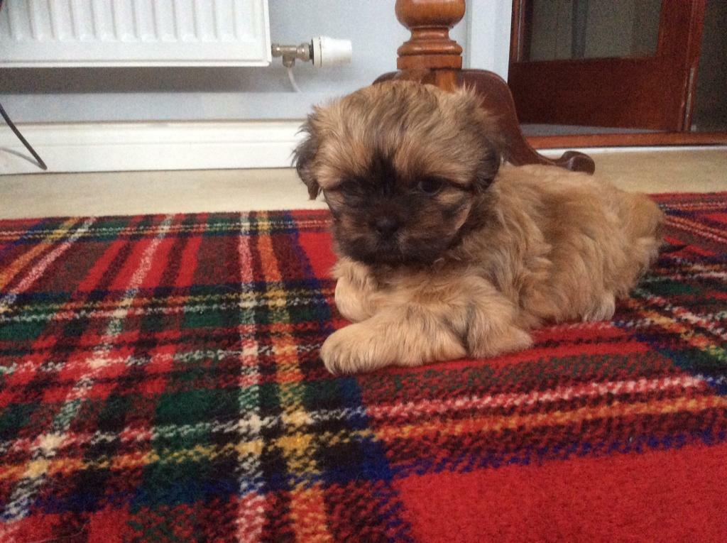 Shih Tzu Male Puppy In East End Glasgow Gumtree