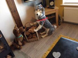 Life size huskey dog