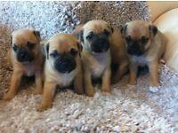 pug cross puppies