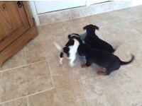 Jack Russel x dachshund puppies