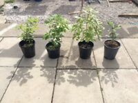 Oak tree's for sale