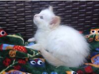 Pedigree flame point Ragdoll kitten