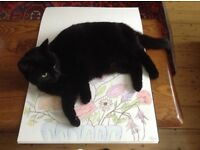 Loving black cat in need of loving home owner moving into flat no animals allowed