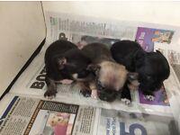 Tiny little Chihuahua pups ready soon