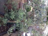 Large olive tree in large planter.