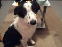 For sale border collie 4 months old