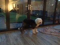 Old English sheepdog 7 months