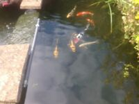 Koi of various colours and sizes plus two Ghost carp