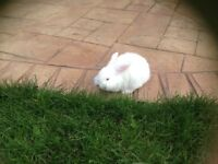 Rabbits (Baby mini lops)