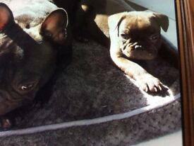 *** Stunning French Bulldog Puppies READY NOW ****
