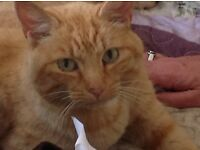 Found - large ginger neutered friendly male cat