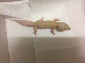 Juvenile leopard gecko female for sale