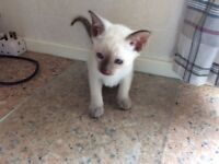 Kittens GCCF reg Siamese