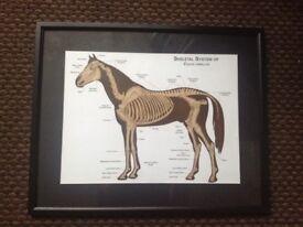 Framed image of horse skeleton