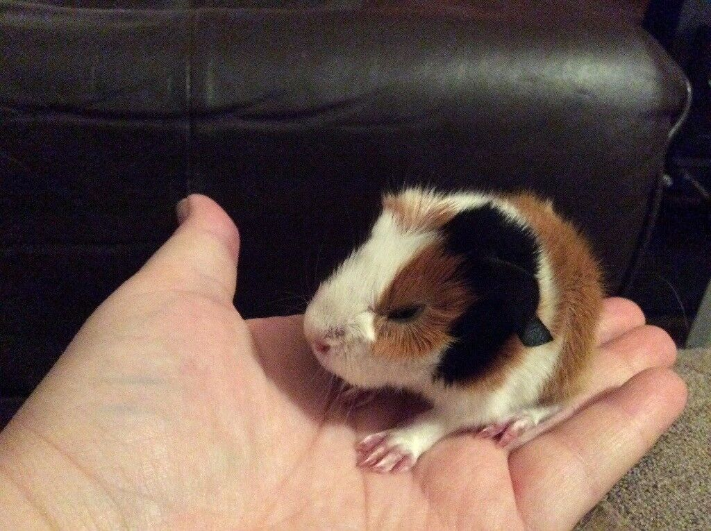 Three Long Haired Baby Guinea Pigs In New Ollerton Nottinghamshire Gumtree