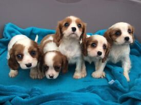 Pure bred Cavalier King Charles puppies for sale