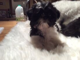 One gorgeous black and white KC registered Imperial Shih Tzu little girl ready to go.