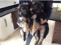 Big German shepherd puppies long haired
