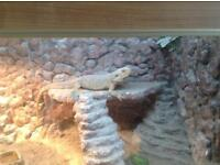 Male bearded dragon 2 year old