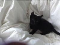 Kittens for sale £40