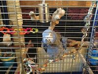 9 year old African Grey parrot- JayJay