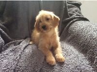 Stunning Labradoodle puppies. Fully vaccinated