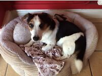 Jack Russell 7 years old Free to a good home