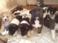 3/4 Akita puppies.