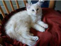 Male Flame Point Ragdoll Kitten