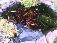 POND FISH FOR SALE INCLUDING SOME KOI