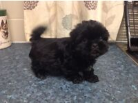 Pedigree Shih Tzu BOYS VERY VERY Tiny ready for there forever homes