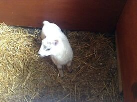 Good big lambb