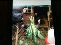 American x black turkeys