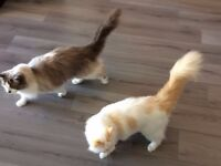 Two Adult Ragdoll Cats (Brothers) Need A New Loving Home