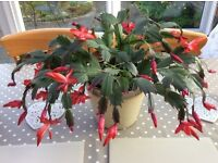 Easter cactus plant