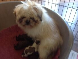 PRA clear Shipoo puppies for sale