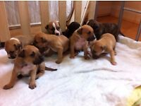 staff cross puppies for sale ready to go on 8w- 16 october 4 girls 4 boys booking kids friendly pups