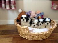 Shih tzu cross bichon frise, Teddy Bear Dog